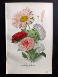 Edward Step 1897 Botanical Print. China Asters